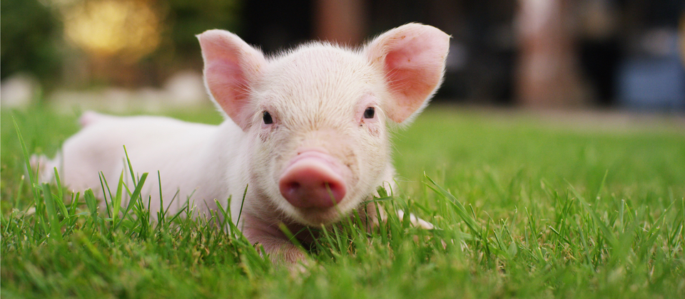 Little pig lying on the grass